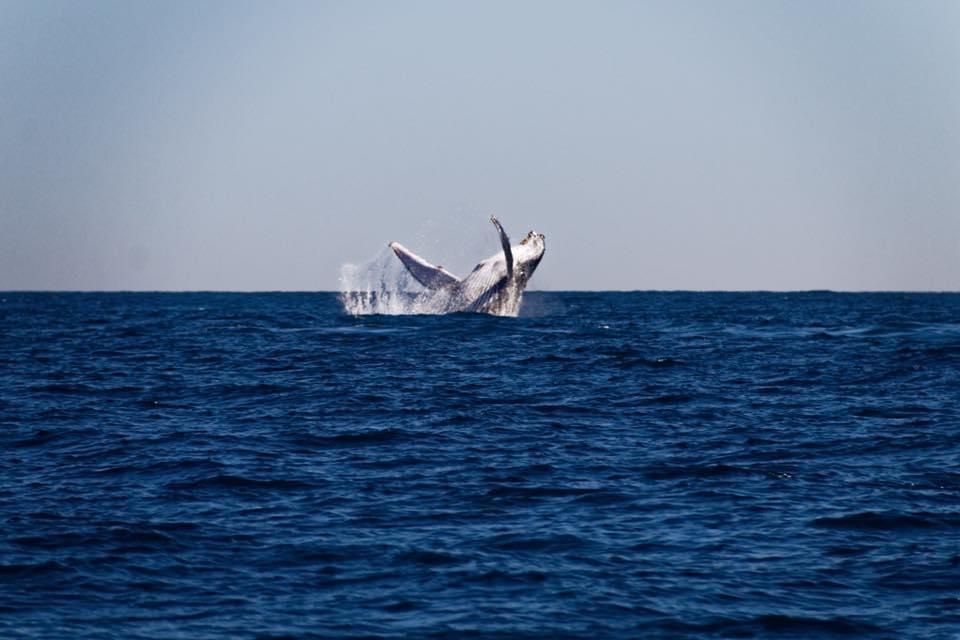 La parade d'une baleine à bosse à l'Hôtel Salary Bay, Sud Ouest Madagascar