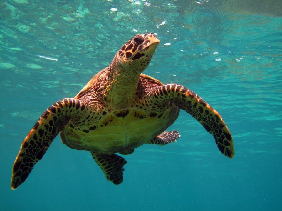Une tortue dans le lagon de Salary Bay